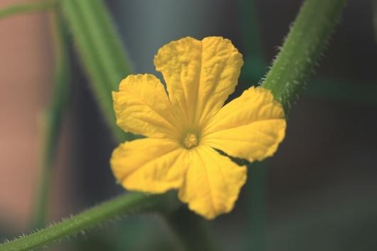キュウリの花.JPG